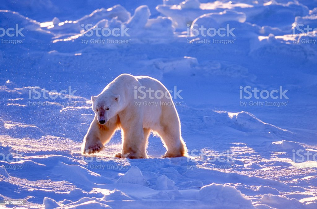 One Wild Polar Bear Walking on Icy Hudson Bay stock photo