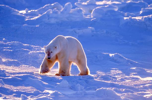 One Wild Polar Bear Walking on Icy Hudson Bay stock photo