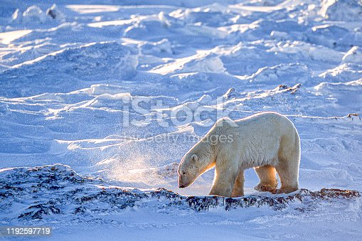 Side view of polar bear (Ursus maritimus) walking along the Hudson Bay, waiting for the bay to freeze over so it can begin it