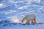 Side view of polar bear (Ursus maritimus) walking along the Hudson Bay, waiting for the bay to freeze over so it can begin it\
