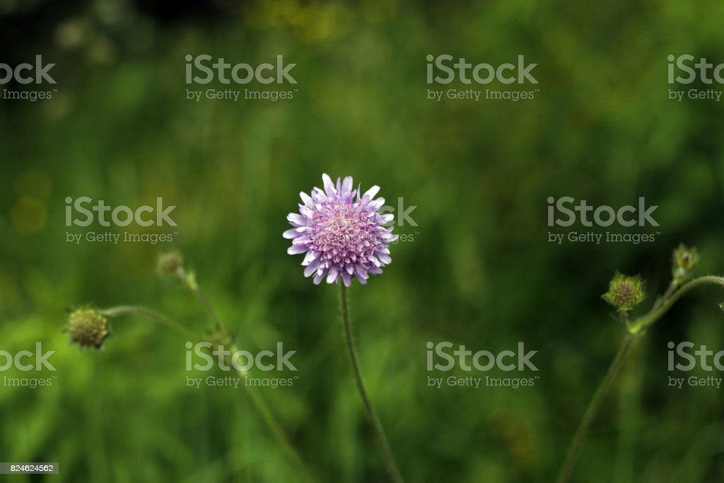 One wildgrowing purple flower with yellow stamens and three stems one wild growing purple flower with yellow stamens and three stems royalty free stock mightylinksfo