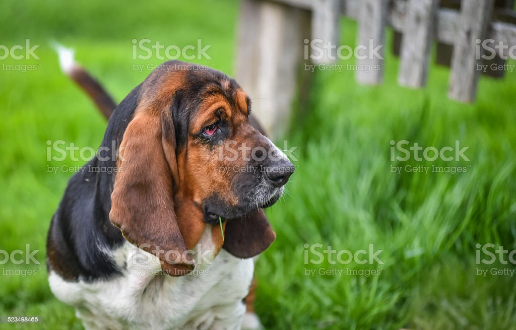 One year old Basset hound (Canis lupus familiaris). stock photo