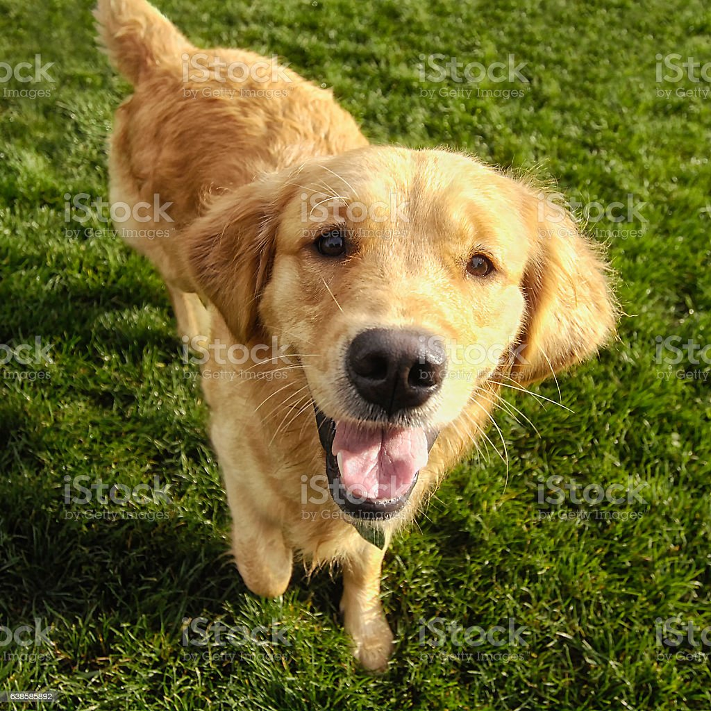 One year old Golden Retriever puppy looking at camera stock photo