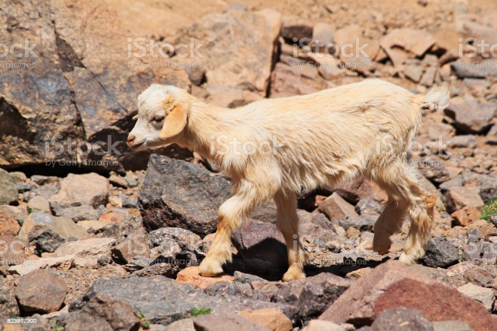 One young goat walking on rocks in Atlas mountains. stock photo