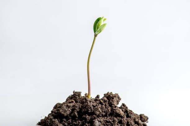 en ung spira på en hög med jord - pea sprouts bildbanksfoton och bilder