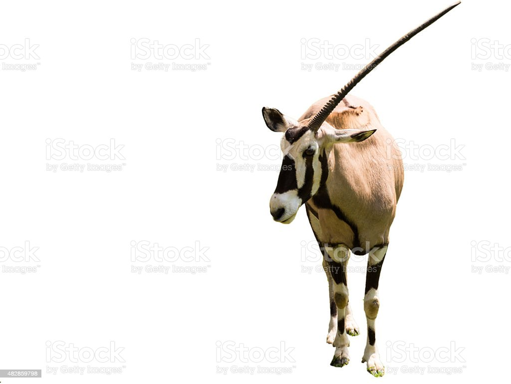 One-horn oryx stock photo