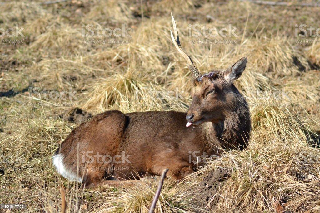 One-horned deer grimacing royalty-free stock photo