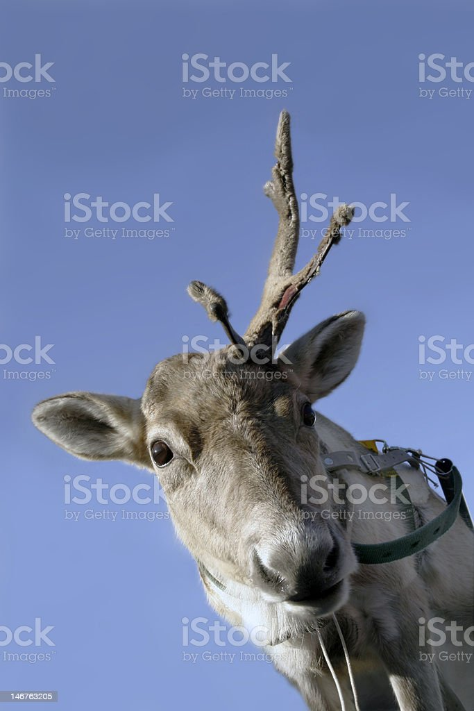 One-horned reindeer royalty-free stock photo