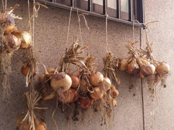 タマネギは、収穫後乾燥します。 ストックフォト