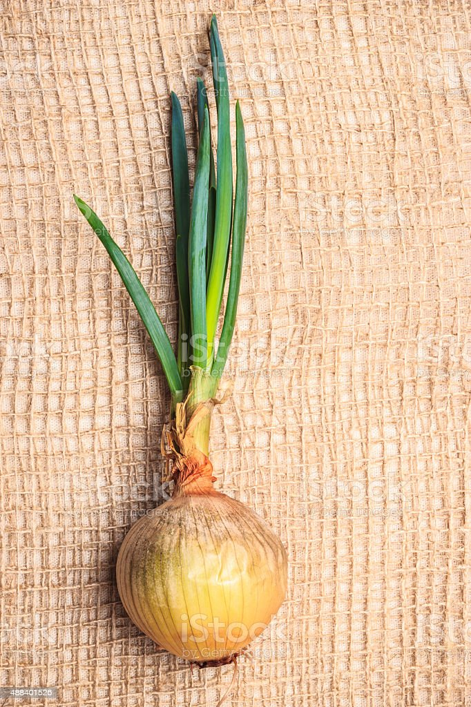Onion bulb with chives fresh green sprout stock photo