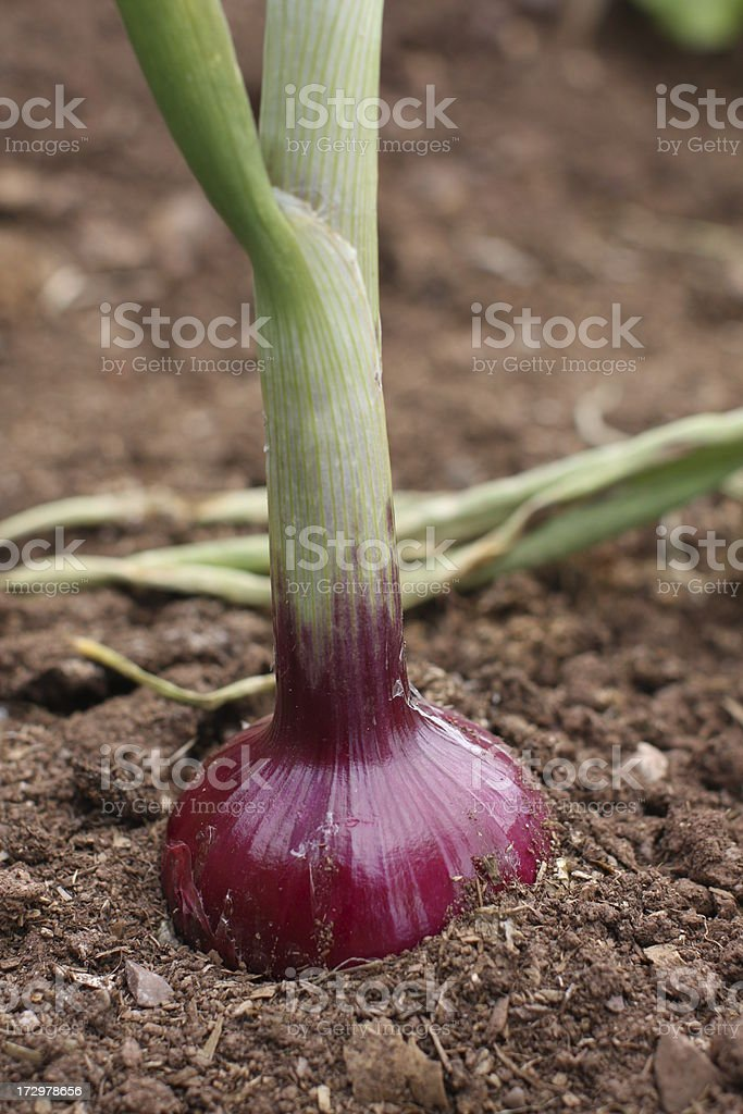 onion electric red royalty-free stock photo