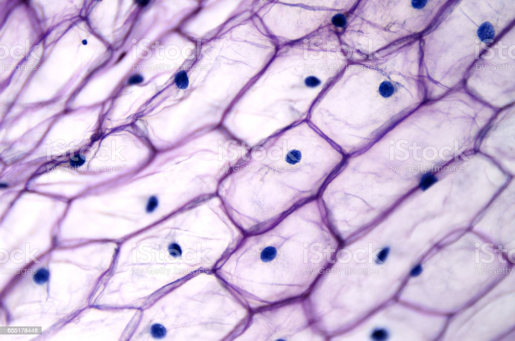 Onion epidermis with large cells under light microscope stock photo
