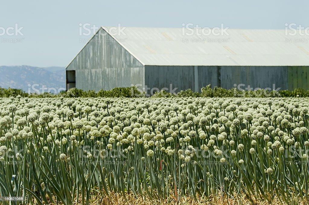 Onion Field, Central Valley, California stock photo