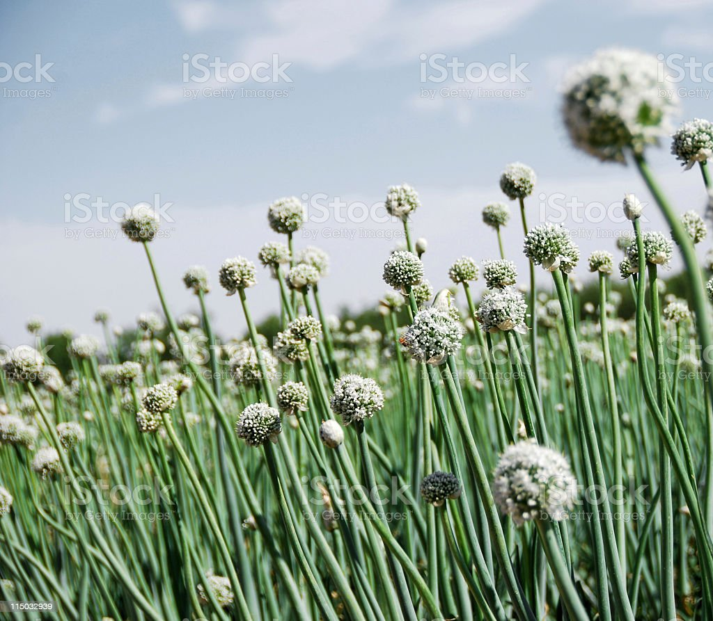 Onion Field Flower Heads and Stalks royalty-free stock photo