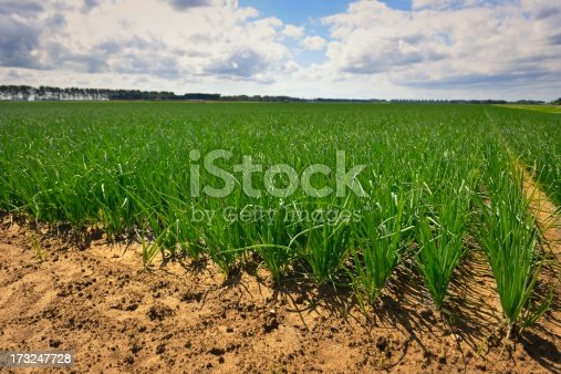 Rows of onion plants in a field on a summer day.