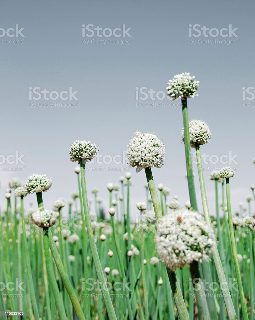 Onion Field With Flower Heads, Closeup (Vertical) royalty-free stock photo