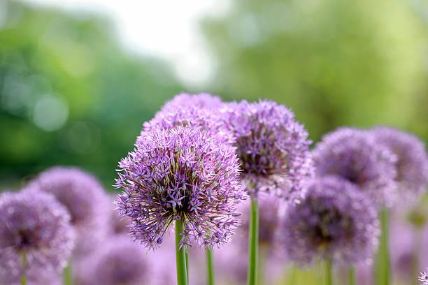 onion flower heads foto