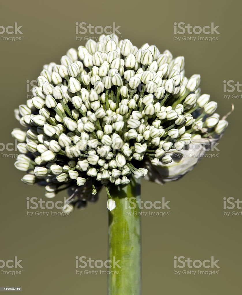 Aglio ornamentale foto stock royalty-free