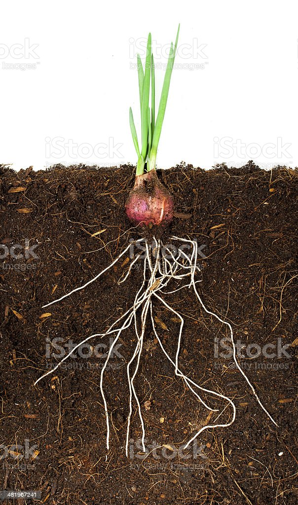 Onion Growing plant with underground root visible stock photo