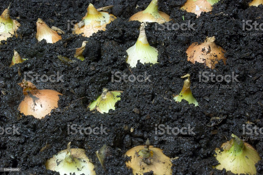 Onion grows in the ground stock photo