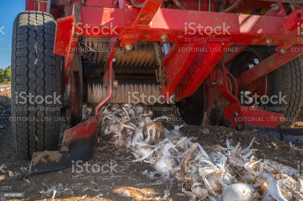 Onion harvester at work. Ground view stock photo