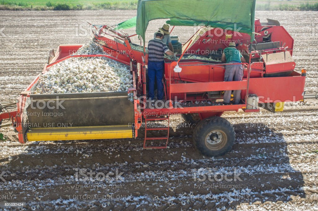 Onion harvester at work. Workers removing rotten onions and clods on platform stock photo
