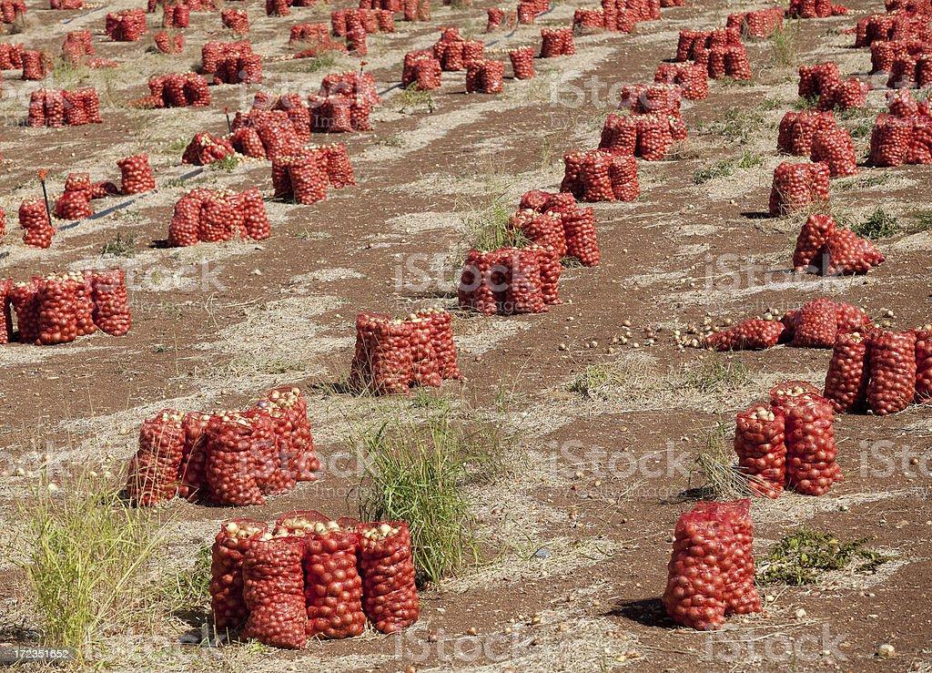 Onion harvesting royalty-free stock photo