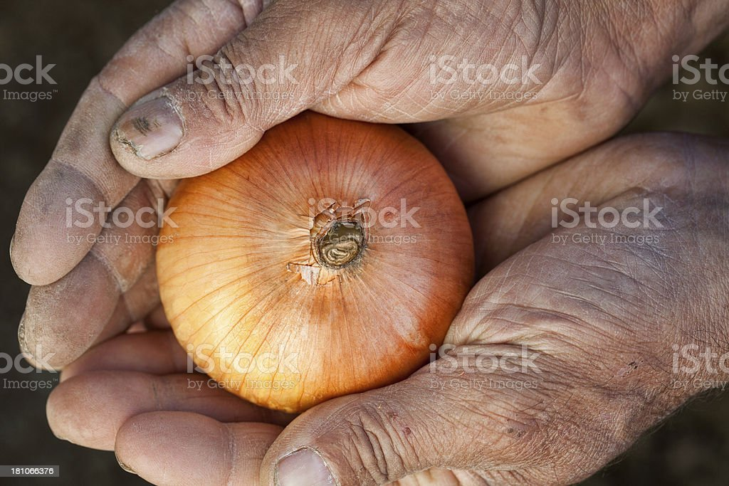 Onion in hands stock photo