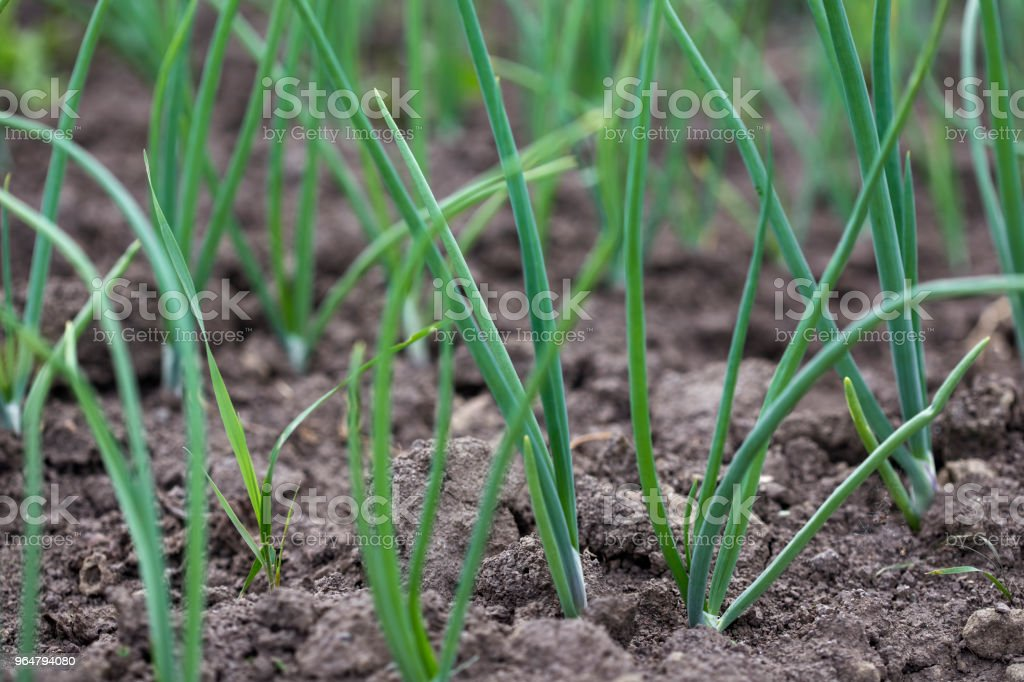 Onion plantation in the vegetable garden royalty-free stock photo
