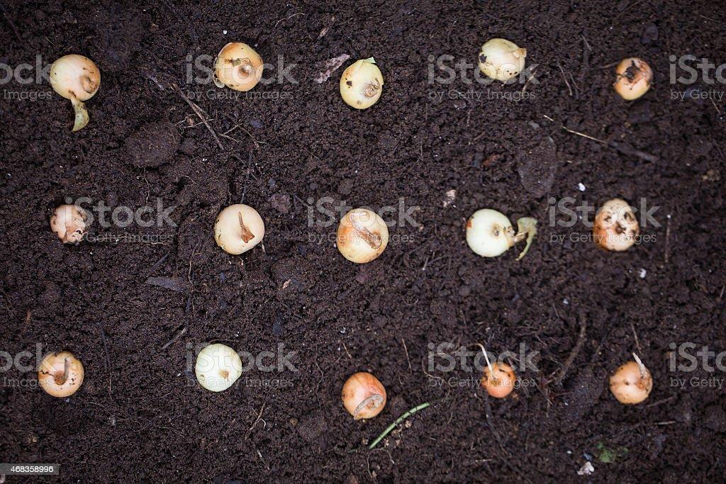Onion seeding royalty-free stock photo