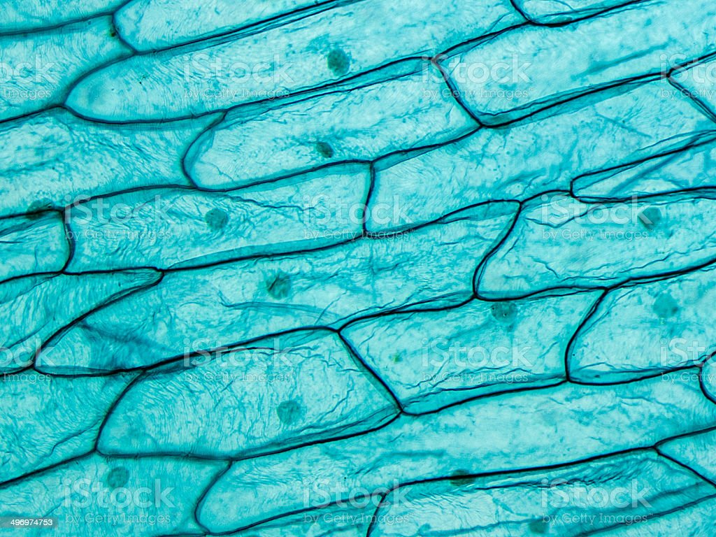 Onion Seen On Microscope stock photo