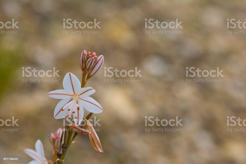 Onion weed (Asphodelus fistulosus) stock photo