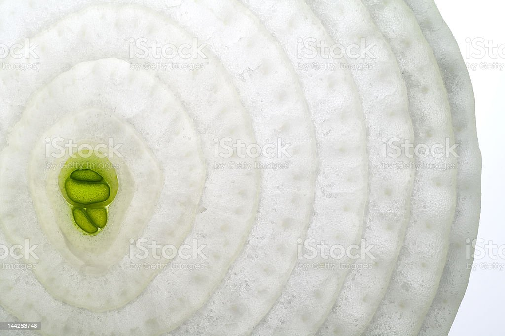 Onion with sprout slice on a light table  (back lighted) stock photo