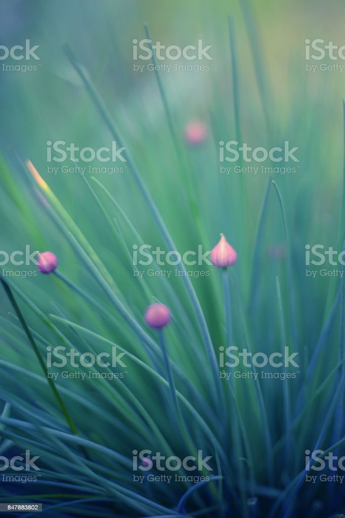 onion young flowers and leafs c stock photo