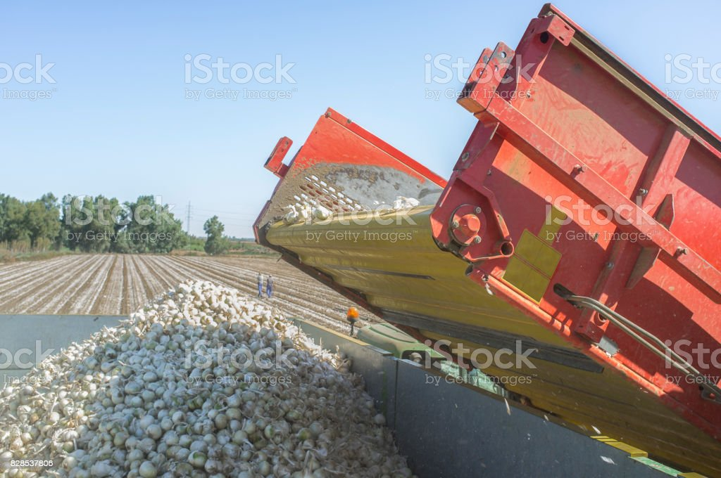 Onions harvester at work. Machine loading truck stock photo