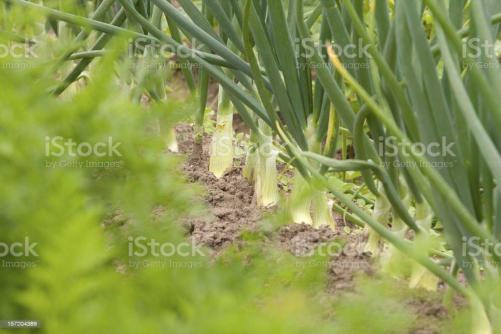 Onions in garden stock photo