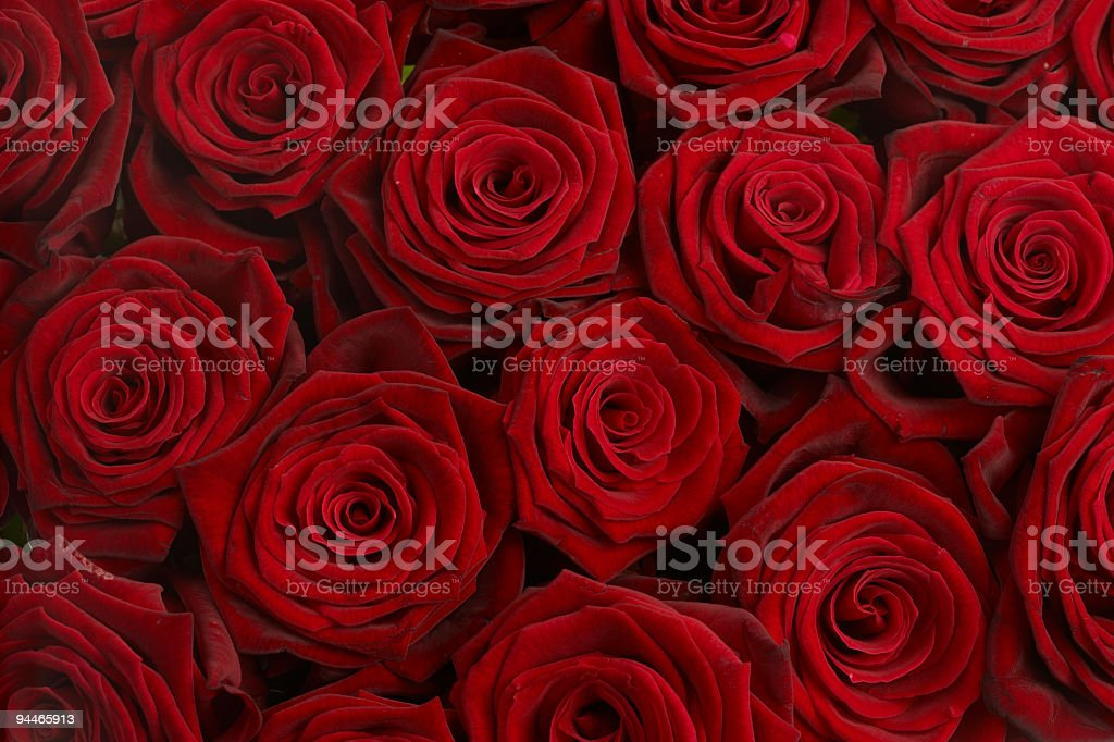 only roses royalty-free stock photo