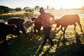 Full length shot of a male farmer tending to his herd of cattle on the farm