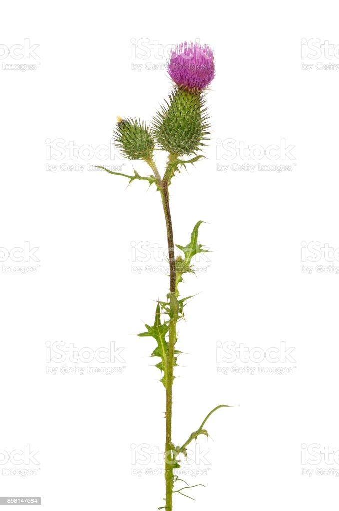 Onopordum acanthium  flower stock photo