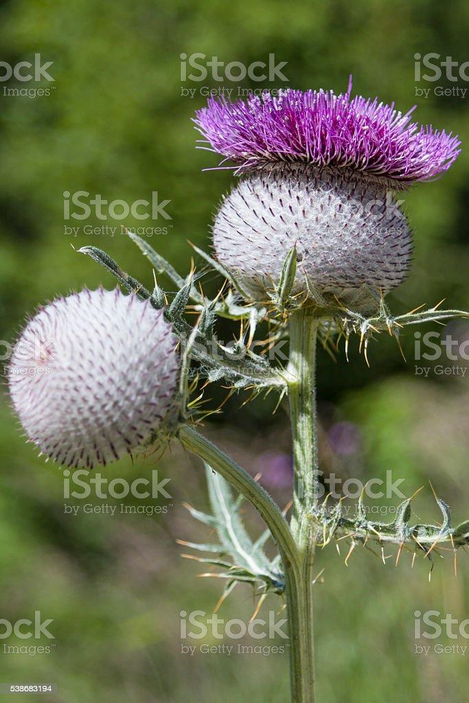 Onopordum acanthium in summer stock photo