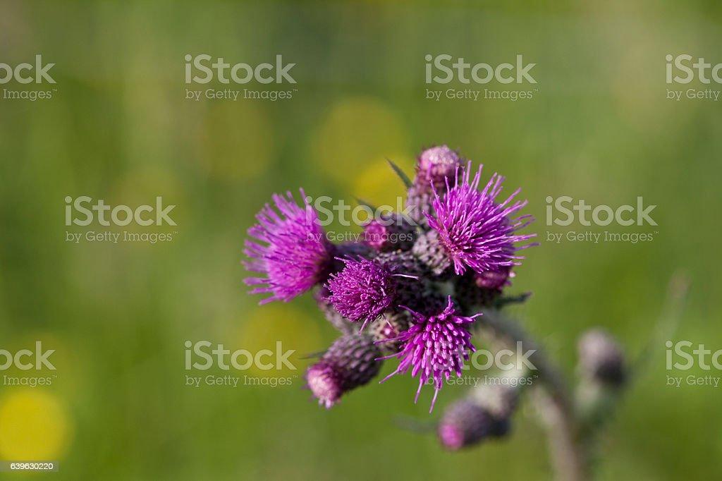 Onopordum Acanthium,Thistle on Green Background stock photo