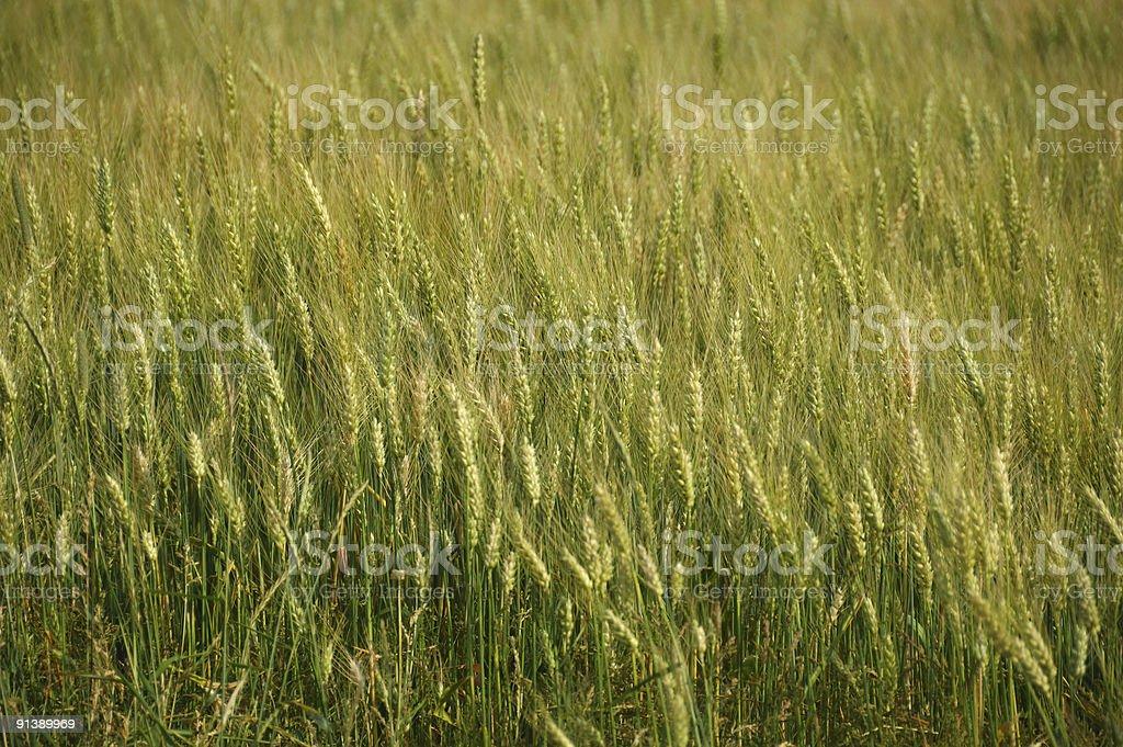 Ontario field of wheat stock photo
