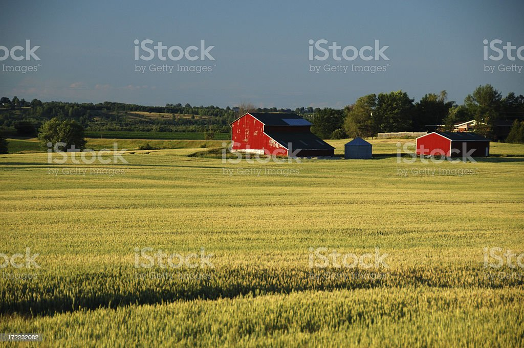 Ontario red barns in a wheat field stock photo