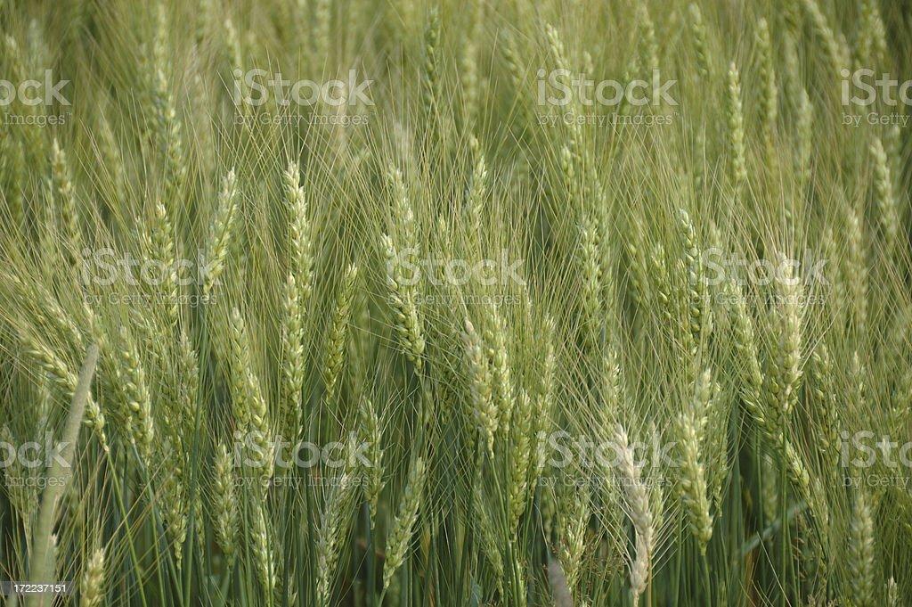 Ontario wheat stock photo