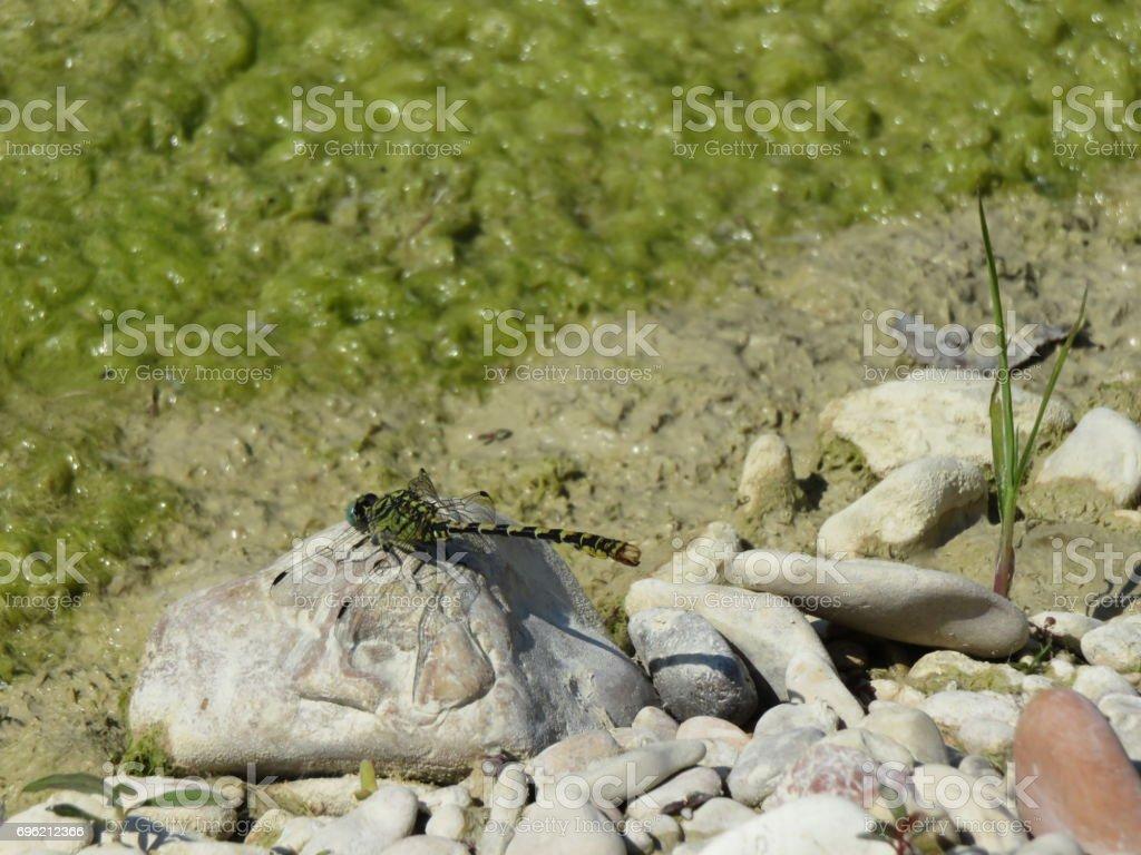 onychogomphus forcipatus stock photo