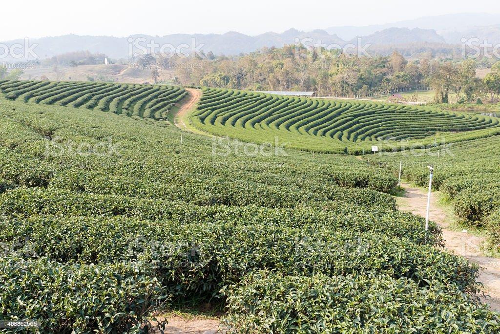 oolong tea farm royalty-free stock photo
