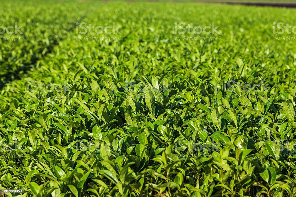 Oolong tea field in Chiran, Kyushu, Japan and blue sky stock photo