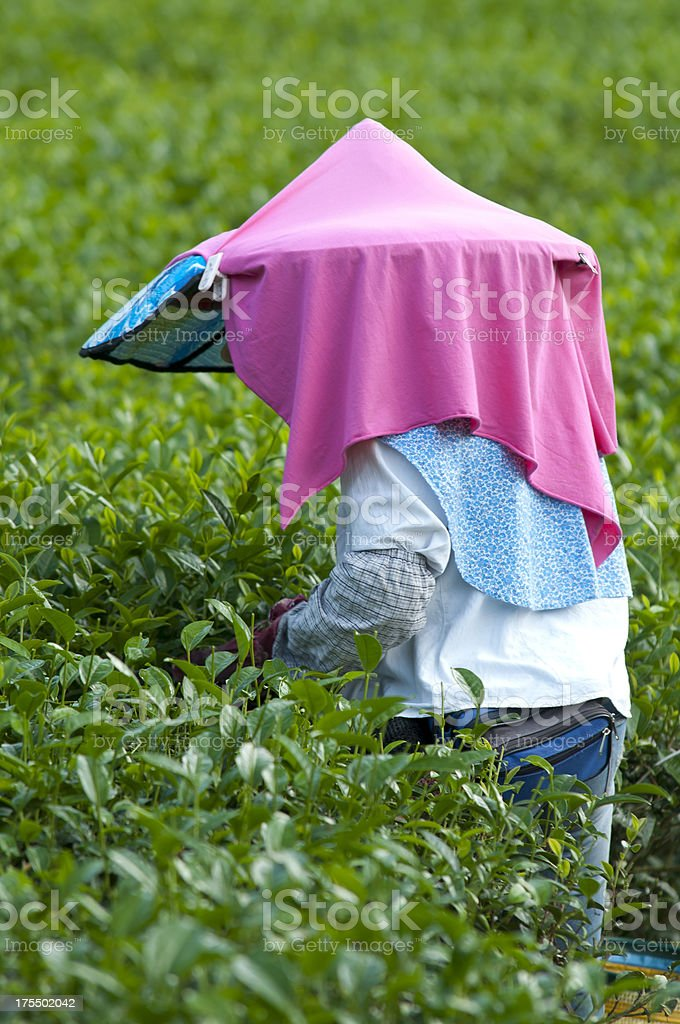Oolong Tea Picker in Taiwan royalty-free stock photo