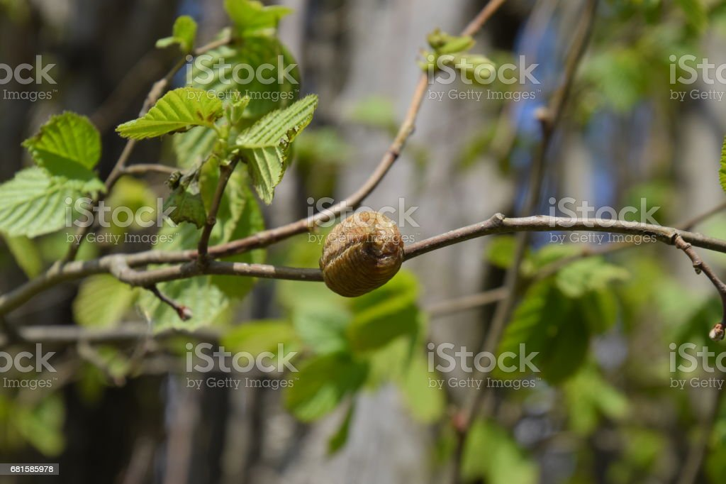 Ootheca mantis on the branches of a tree. The eggs of the insect laid in the cocoon for the winter are laid. Ooteca on a branch of hazelnut stock photo