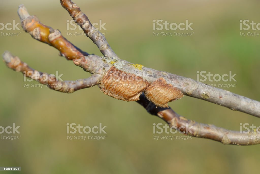 Ootheca mantis on the branches of a tree. The eggs of the insect stock photo
